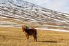 Windblown Icelandic horse,Bolstadur farm, Sprengisandur Highland Road, Northeast Iceland
