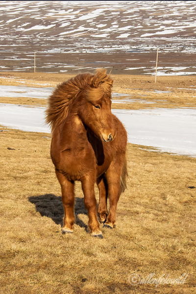 Beautiful chestnut Icelandic horse with blowing mane, Aldeyjarfoss Road, Iceland
