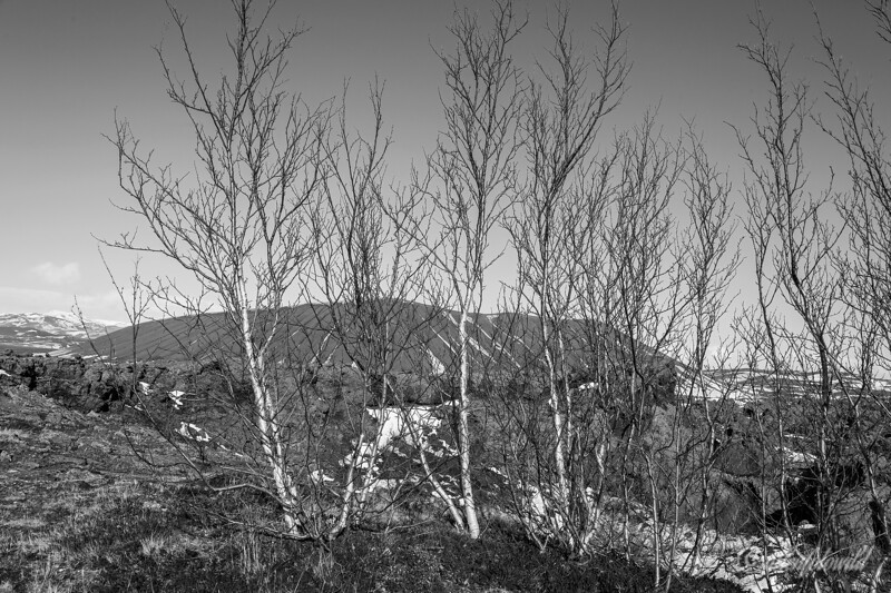 White birch trees (Betula pubescens) near the Hverfjall ring volcano, Hverir, north Iceland