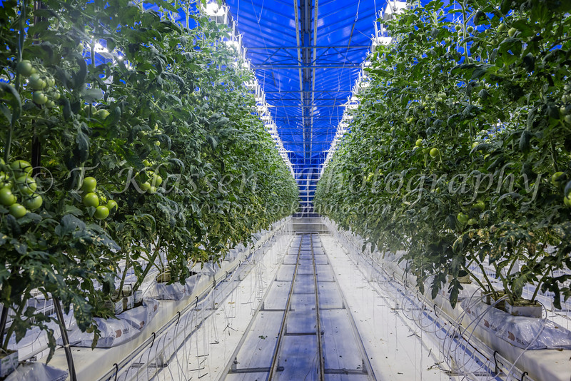 The Fridheimer greenhouses where tomatoes are grown indoors in southern Iceland.