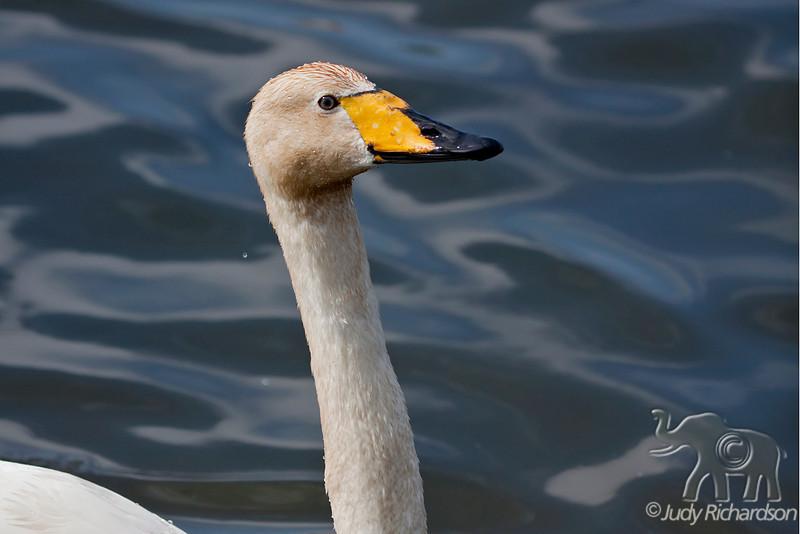 Whooper Swan close-up on Tjörnin (The Pond) in Reykjavik, Iceland