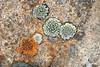 Lichen circes