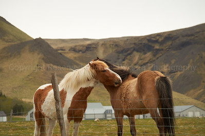 Intimate moment between Icelandic Ponies