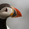 Puffin possing