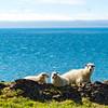 Sheep on the Vatnsnes Penninsula