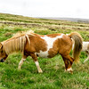 Icelandic horses grazing in Staour