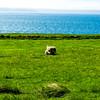 Sheep grazing on the Vatnsnes Penninsula