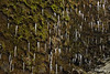 Mosses and icicles on a cliff-side in lightly falling snow, Skógafoss, Iceland