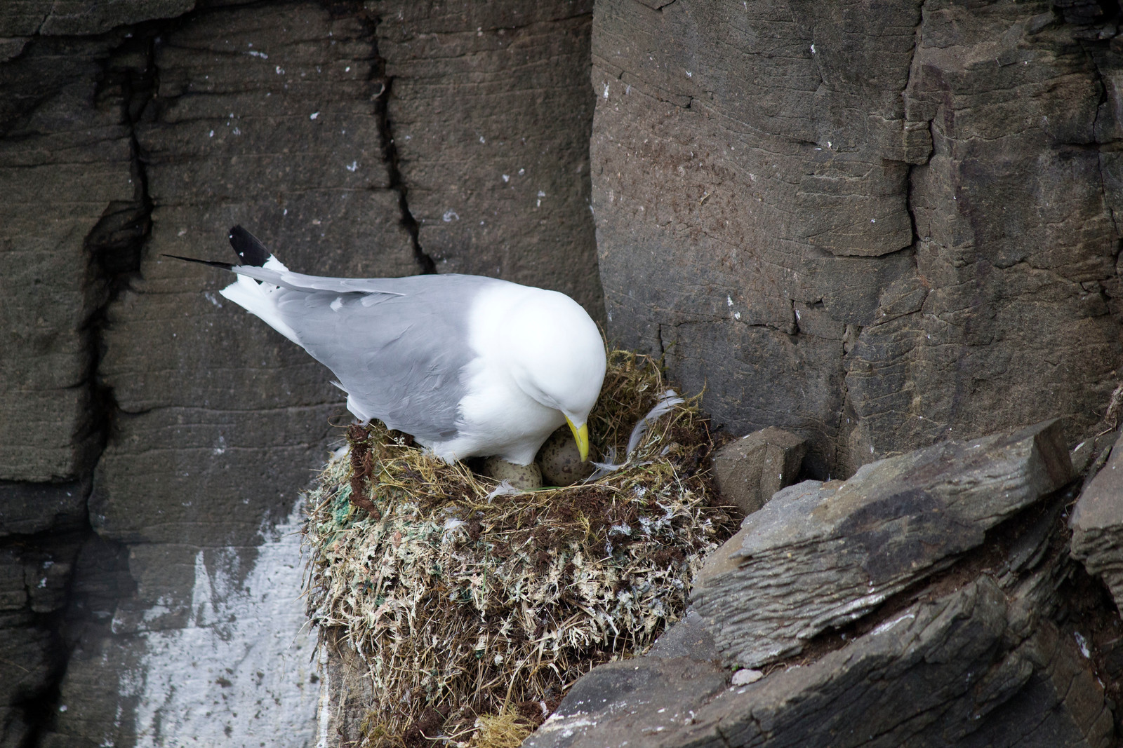 Bird sitting on nest at Latrabjarg Bird Cliffs in Westfjords, Iceland