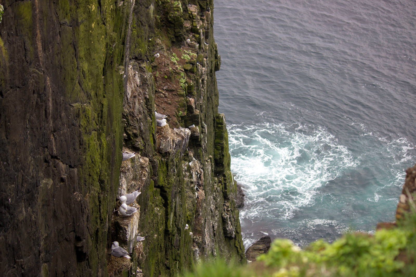 Sea birds at Latrabjarg Bird Cliffs in Iceland