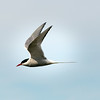 Artic Tern in Flight
