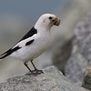Snow Bunting with captured moth in southern Iceland.