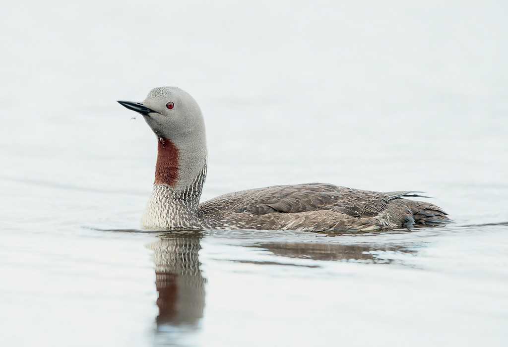 Red-throated Loon-1