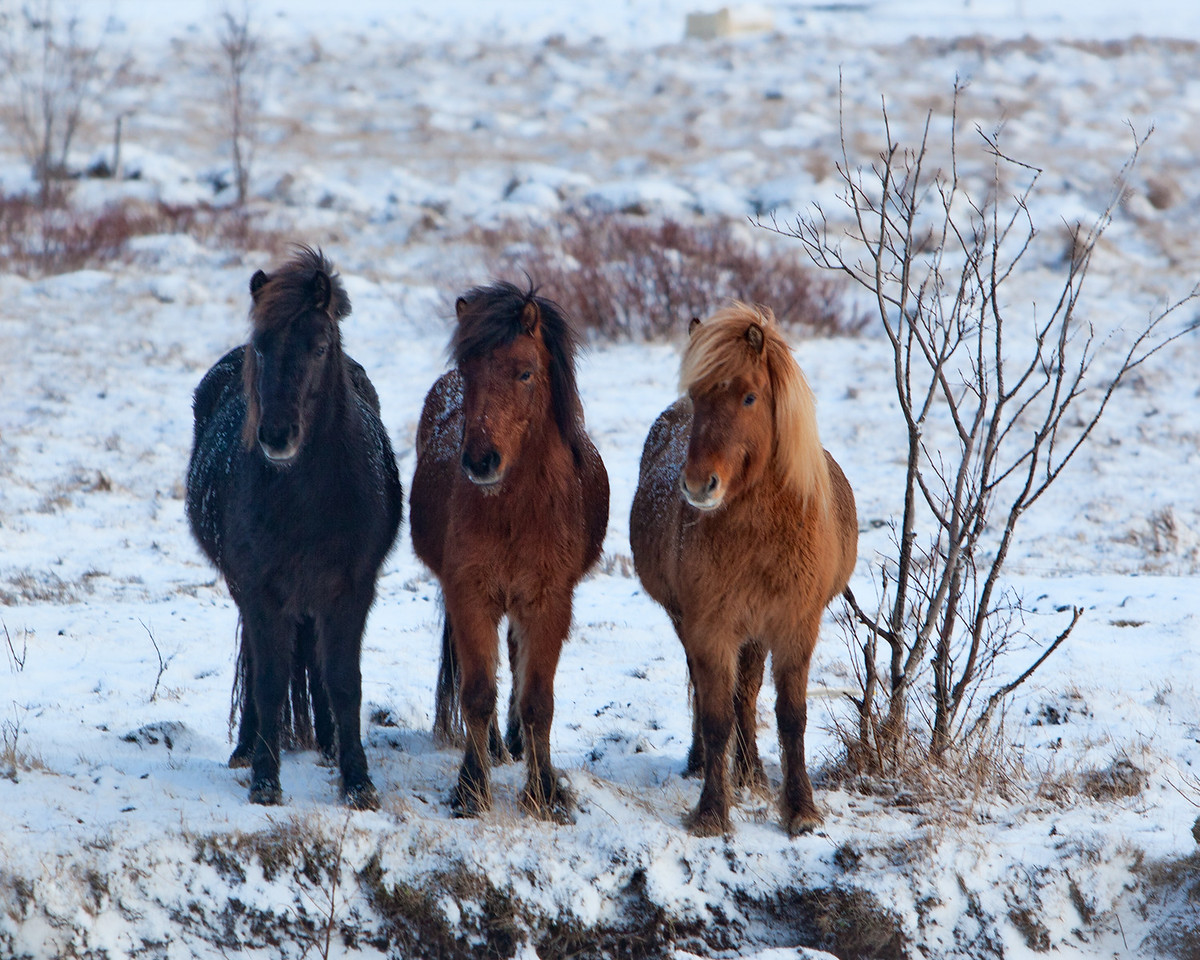 Three Horses of Iceland
