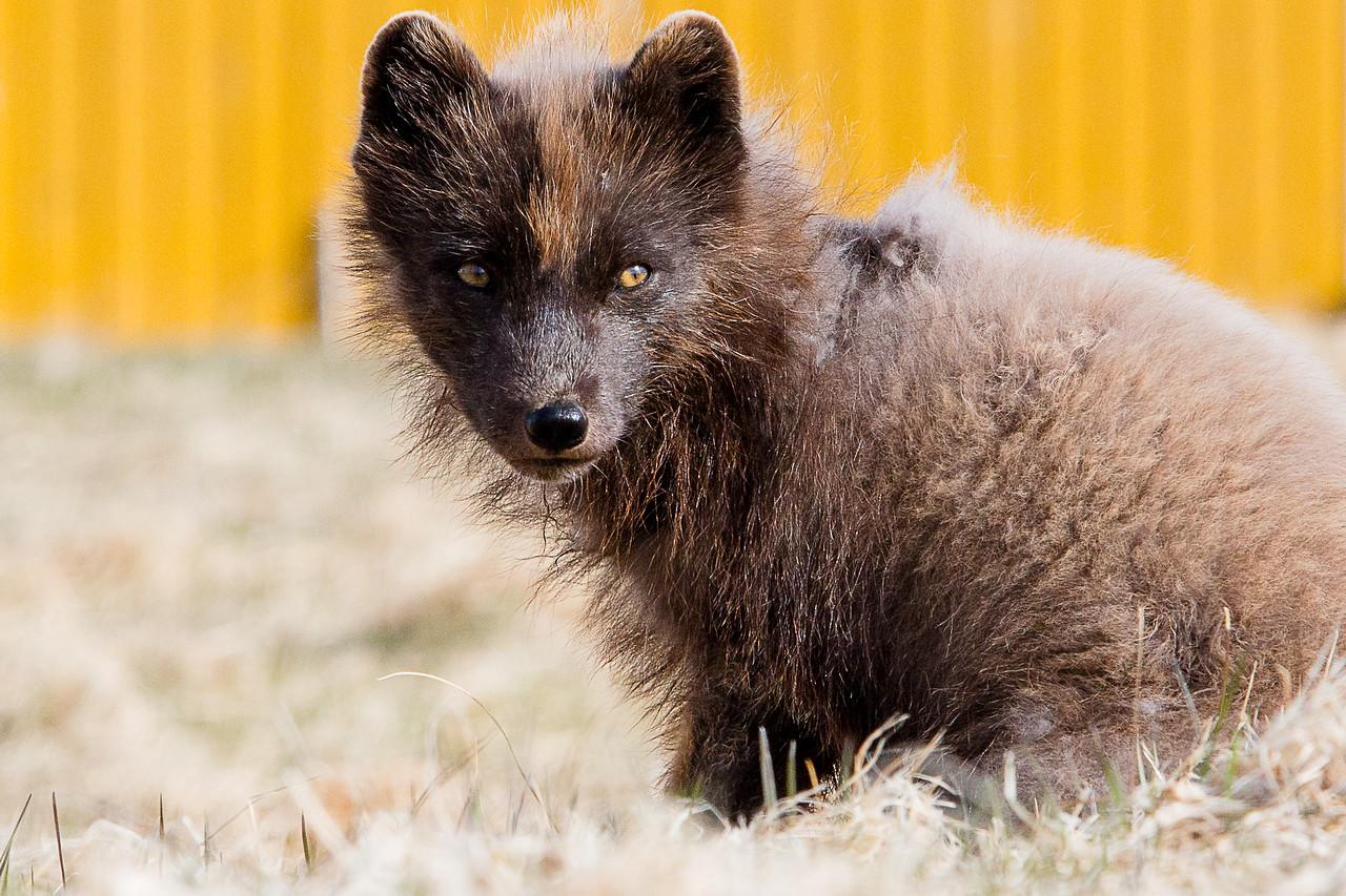 iceland arctic fox