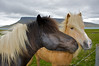 The Icelandic horse. They have survived for 1000 years they came over on Viking ships.