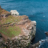Colonies of Northern Gannets and Common Murres populate a cliff in northeastern Iceland.