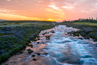 Lupines line the Vikurmyri River in southern Iceland