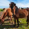 Icelandic Horses graze in northeastern Iceland.