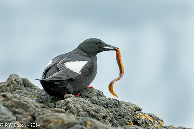 Black Guillemot w Butterfish-1