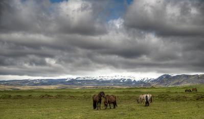 Icelandic Horse Herd
