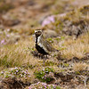 An American Golden Plover, a vagrant in Iceland.