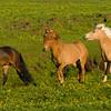 Icelandic Horses in northeastern Iceland.