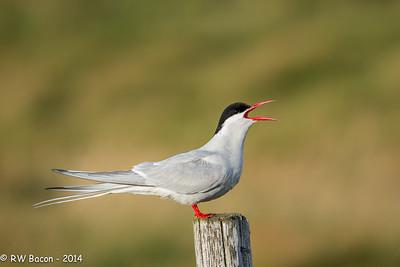 Arctic Tern-1