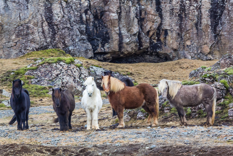 Icelandic Horses - Iceland - Cosmas Liu, MD - March 2014