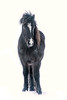 Pony of Iceland