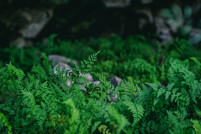 Ferns Growing Under a Lava Flow
