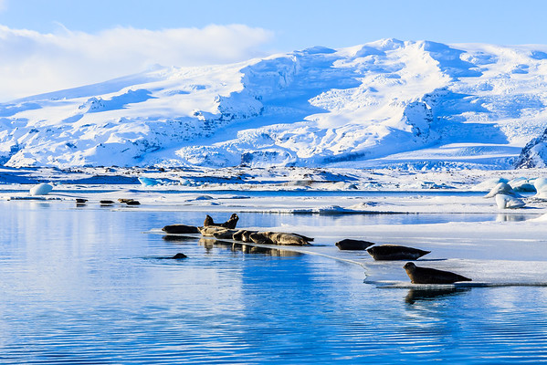 Seals on the Ice Shelf