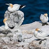Northern Gannet colony in northeastern Iceland.