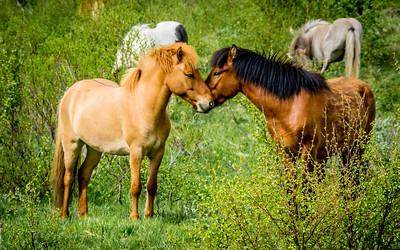 Icelandic Ponies - Iceland