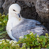 Northern Fulmar guards a nest in Iceland. Snaefellsness peninsula.