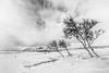 Icelandic birch trees