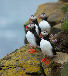 Puffins on cliff, Latrabjarg Cliffs