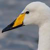 Whooper Swan at a pond in Reykjavik, Iceland.