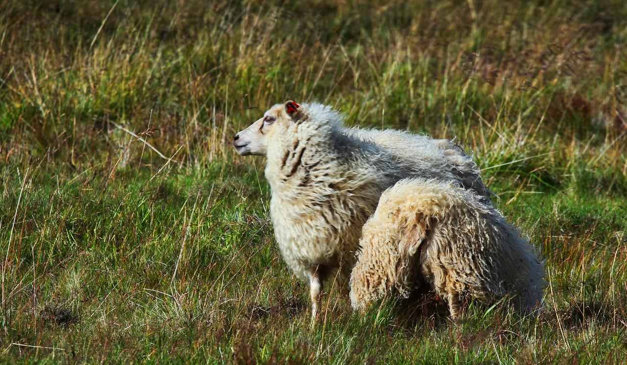 Τα ισλανδικά πρόβατα
