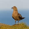 The Great Skua is the largest seabird in the skua family, seen here in southern Iceland.