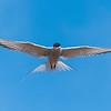 Arctic Tern in flight in Iceland.