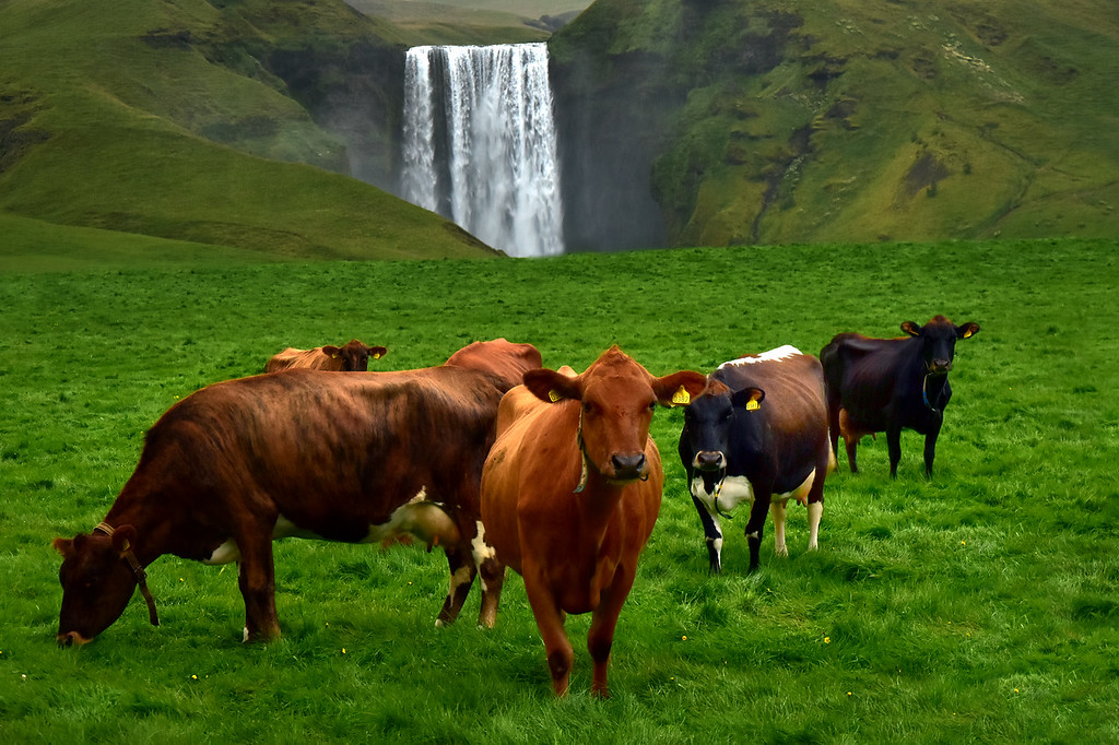 Icelandic Cows in a farm with skogafoss waterfall in background