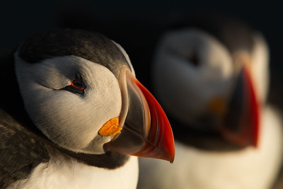 Sleeping puffins in midnight sun, Latrabjarg Cliffs