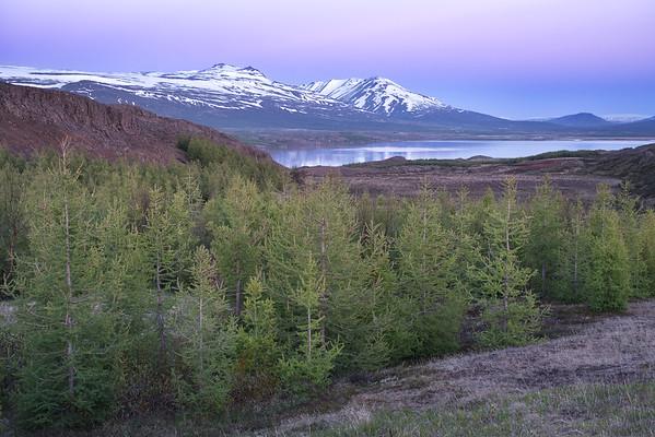 Icelandic Forest