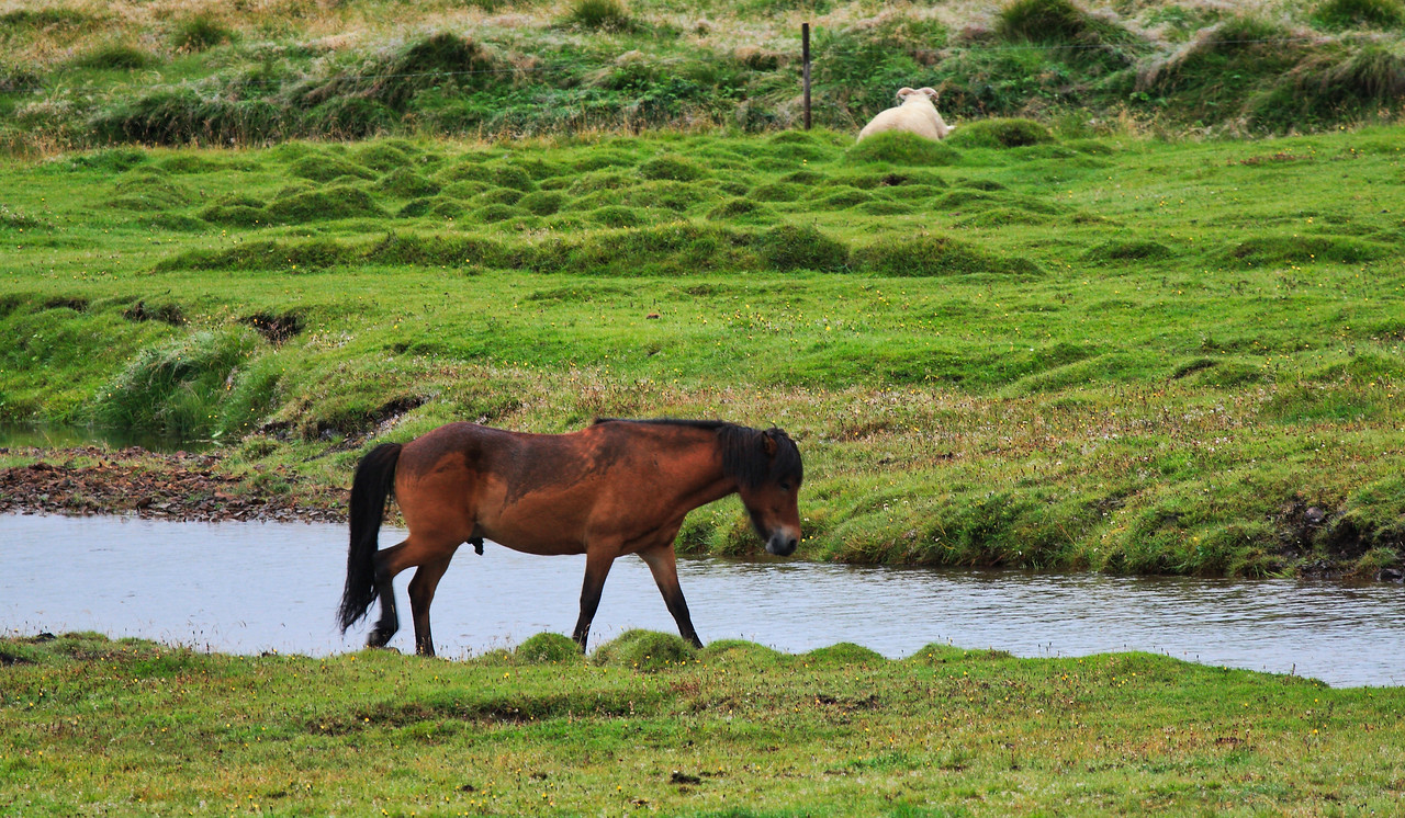 Τα Ισλανδικά Άλογα