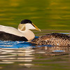 Eider pair swim in pond near Snaefellsness, Iceland.