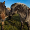 Icelandic horses - these hardy horses are very gentle and will approach you for a scratch behind the ear.  They have no predators and are only found in Iceland.  Their bloodlines are pure, and they are highly valued.