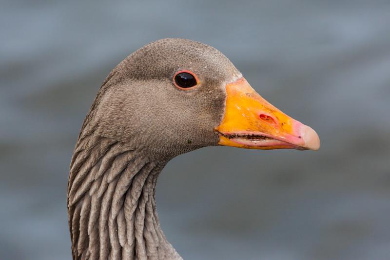 Greylag goose at a pond in Reykjavik, Iceland.