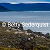 Flock of Sheep on Rugged Coast, Iceland