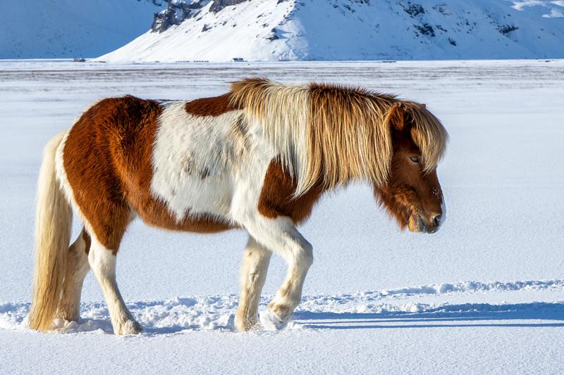 Walking Icelandic Horse